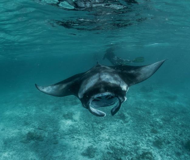 Reef manta ray in het koraalrif