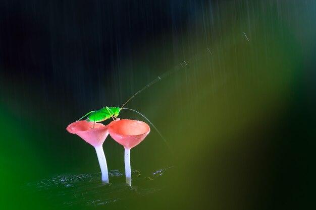 Regenachtige dag en de sprinkhaan op rode paddestoelen
