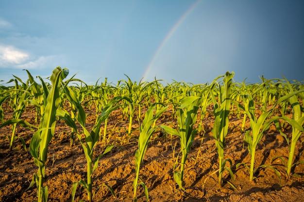 Regenboog na de regen over het boerenveld