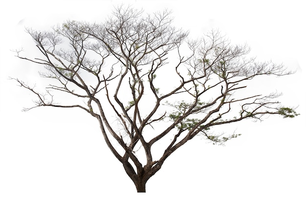 Regenboom op witte achtergrond wordt geïsoleerd die. boom die op witte achtergrond wordt geïsoleerd.