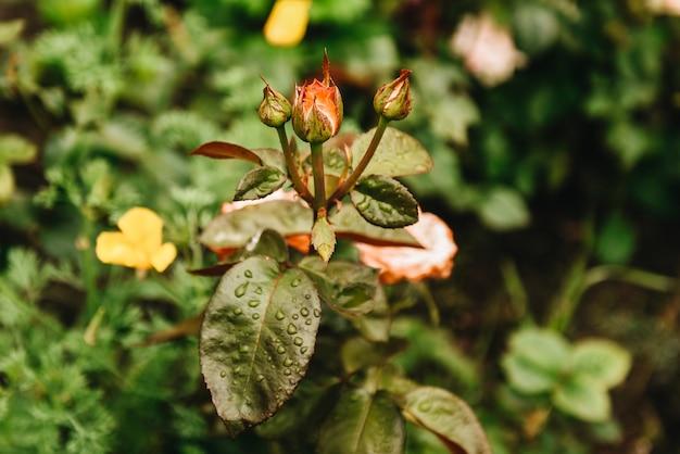 Regendruppels op de bladeren van rozenstruiken