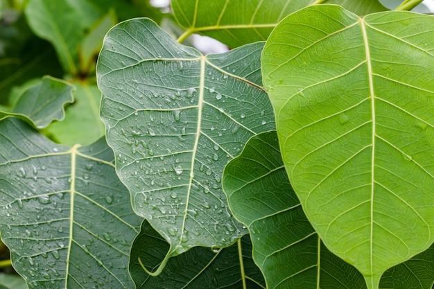 Regendruppels op de bovenkant van de bladeren in het regenseizoen