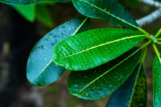 Regendruppels op een groen plumeriablad in de tuin na de regen