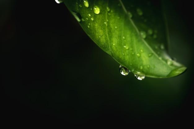 Regenwater op groene blad macro. mooie druppels en blad textuur in de natuur. natuurlijke achtergrond in het regenseizoen.