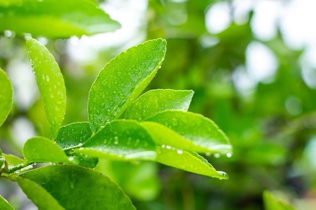 Regenwater zit in het groene blad.