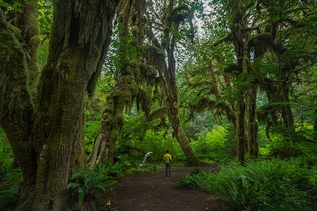 Regenwoud in hall of mosses in olympic national park washington