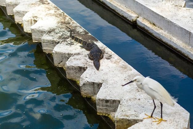 Reiger en monitorhagedis koesteren zich in de zon aan het water op een betonnen borstwering. wilde dieren in de stad.