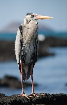 Reiger staat op de rotsen boven de oceaan. de galapagos-eilanden. vogels. ecuador.