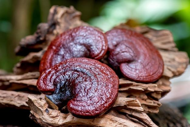 Reishi of lingzhi mushroom op aardachtergrond.