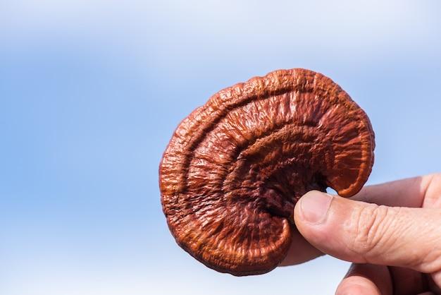 Reishi of lingzhi-paddenstoel op blauwe hemel
