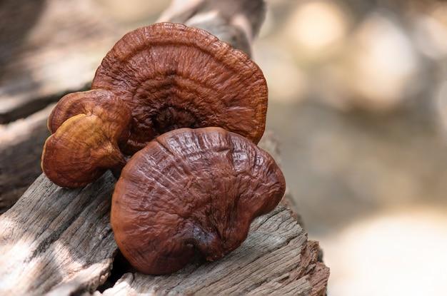 Reishi of lingzhi-paddenstoel.
