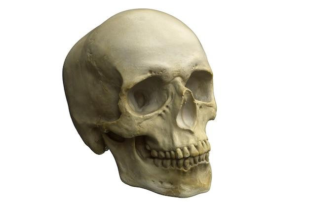 Render van menselijke schedel geïsoleerd