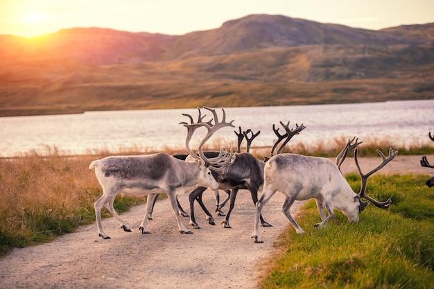 Rendieren grazen bij het meer in lapland tijdens zonsondergang