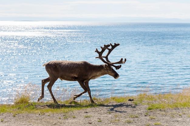 Rendieren in noorwegen in het zomerseizoen