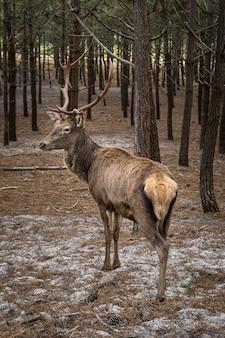 Rendieren kijken terug in de buurt van veel pijnbomen in een bos