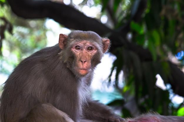 Resusaap aap of primaten of apen of macaca of mullata die agressief kijken