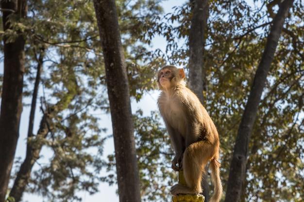 Resusaap macaque monkey bij swayambhunath-tempel, katmandu, nepal