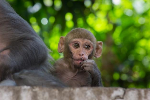 Resusapen zijn bekende bruine primaten met rode gezichten en staarten met expressieve gezichten