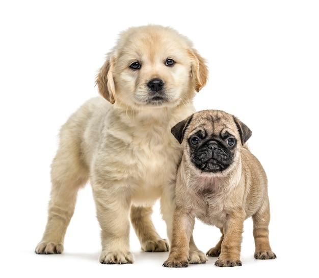 Retriever en pug puppies staan, geïsoleerd op wit