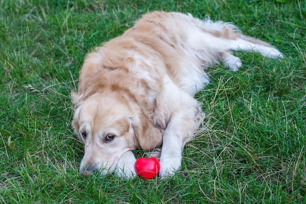 Retrieverhond en rood hart liggen op groen gras
