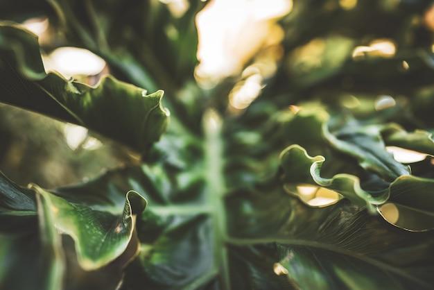 Reusachtig golvend groen blad van philodendron
