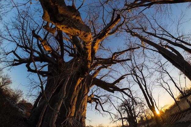 Reusachtige baobab-installatie in de savanne met duidelijke blauwe hemel bij zonsondergang