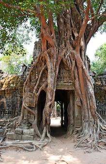 Reusachtige boom groeit over de oude ruïnes van de tempel van ta prohm in angkor wat, siem reap, cambodja