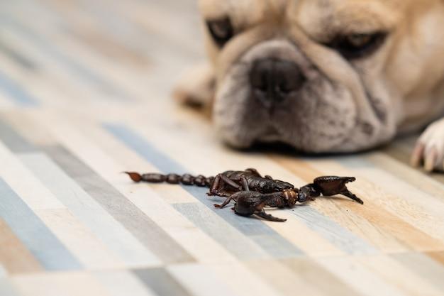 Reusachtige bosschorpioenen die bij vloer binnenshuis kruipen.