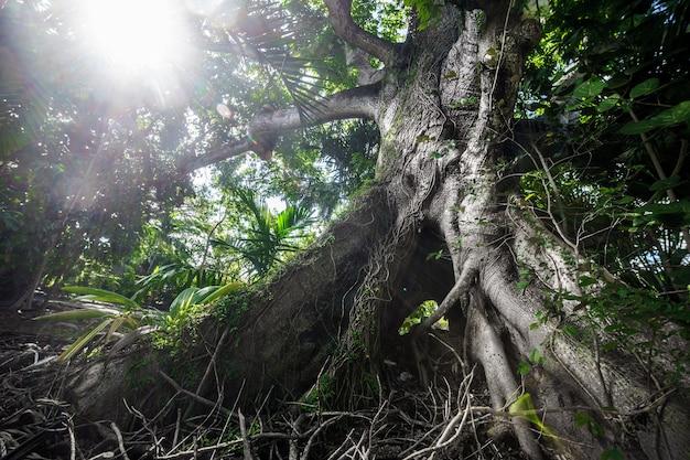 Reusachtige enorme boom in nassau met blauwe hemel. bahamas