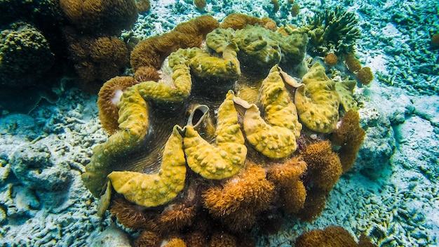 Reusachtige kleurrijke tweekleppige schelpdieren tridacna gigas groeit in de bodem in raja ampat, indonesië.