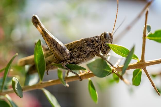 Reusachtige sprinkhanen tussen bladeren van struik die op het voedsel wachten.