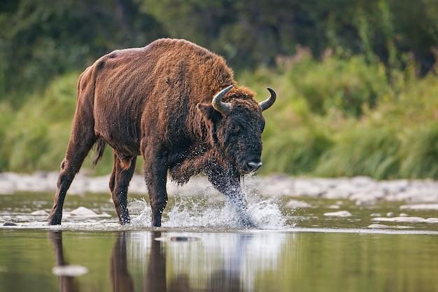 Reusachtige stier van europese bizon, bizonbonasus, die een rivier kruist.