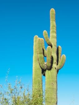 Reuze cactus in de woestijn van arizona, verenigde staten