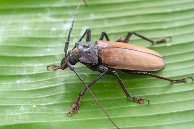 Reuze fijische boktor van eiland koh phangan, thailand. sluit omhoog, macro. reuze fijische langhoornige kever, xixuthrus-helden is een van de grootste levende insectensoorten. grote tropische keversoorten
