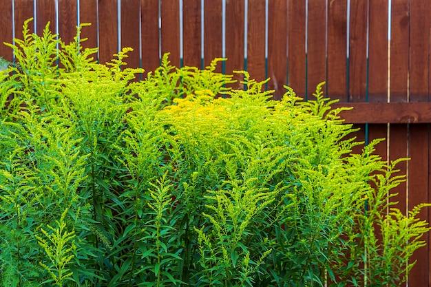 Reuze guldenroede, gouden rozga gigant (solidago gigantea), is een soort van tweezaadlobbige bloeiende planten van de asteraceae-familie. gele bloeiende bloemen tegen wodden fense.