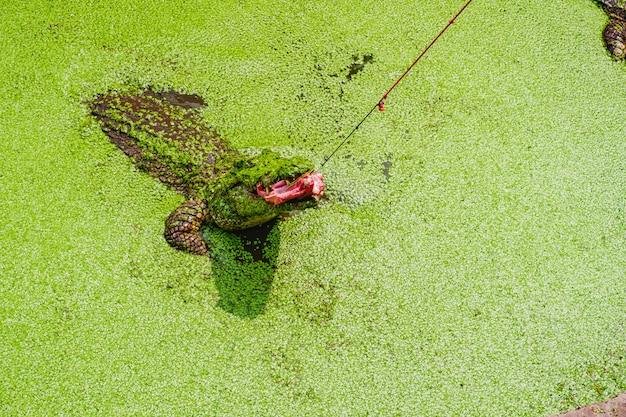 Reuze krokodil voederen