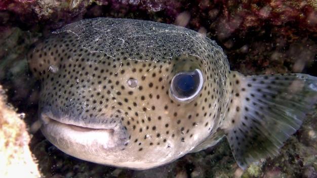 Reuze porcupine pufferfish (diodon hystrix) in de rode zee, eilat, israël