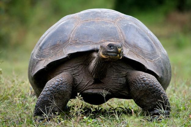 Reuze schildpad in het gras