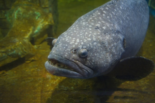 Reuze tandbaarsvissen of serranidae-vissen die onderwatervistank zwemmen bij aquarium
