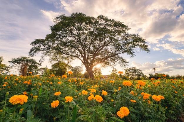 Reuzebomenboom in de goudsbloemtuin van de bloesem bij avond
