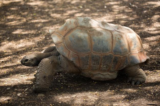 Reuzenschildpad in mauritius.