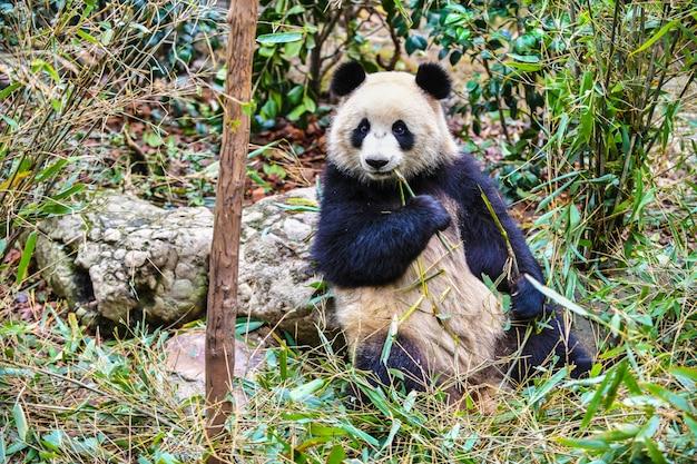 Reuzepanda die bamboe in chengdu china eet