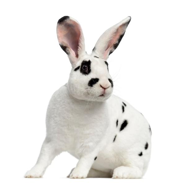 Rex dalmatische konijn opstaan, geïsoleerd op een witte ondergrond
