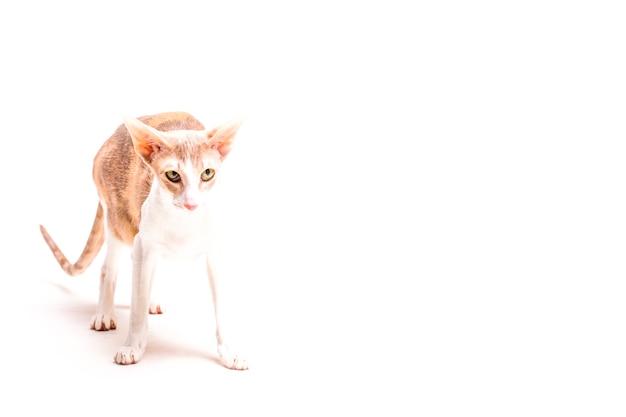 Rex kat die van cornwall zich over witte achtergrond bevindt