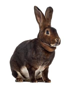 Rex rabbit geïsoleerd op wit