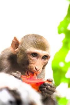 Rhesus makaak aap of primaten of apen of macaca of mullata die erg hongerig fruit eten