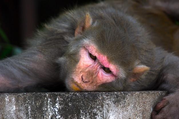 Rhesus makaak aap of primaten of apen of macaca of mullata slapen onder de tre