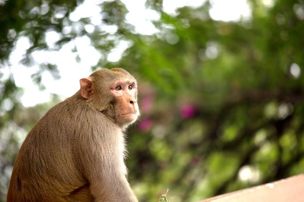 Rhesus makaak aap of primaten of apen of macaca of mullata zittend op de boom