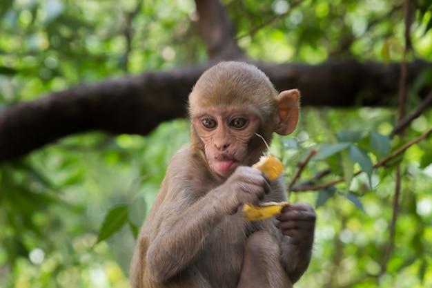 Rhesus makaken aap zijn bekende bruine primaten of apen of macaca of mullata