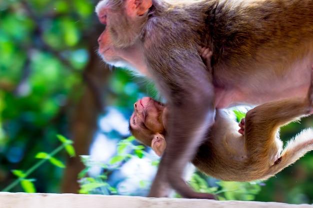 Rhesus makaken zijn bekende bruine primaten of apen met rode gezichten en achterpoten